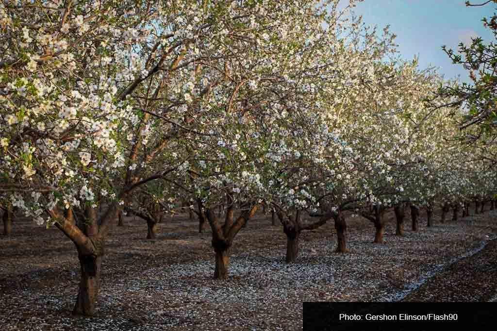 Цветущие миндальные деревья в Латруне