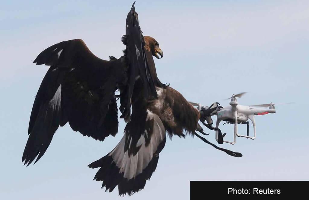 Беркут хватает летающий дрон